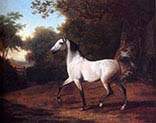 A Grey Arab Stallion