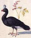 Study of a Helmeted Curassow