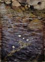 pond water crowfoot