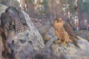 the hawks in the woods